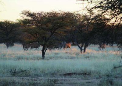 jagdfarm-namibia-eland