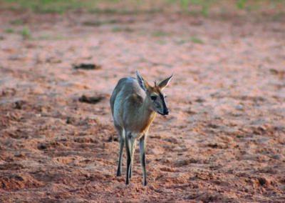 jagdfarm-namibia-kronenducker