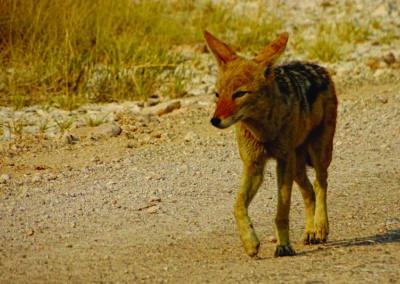jagdfarm-namibia-schakal