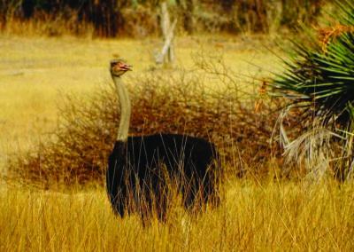 jagdfarm-namibia-strauss