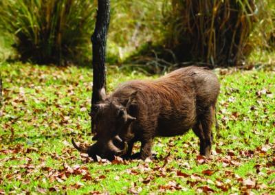 jagdfarm-namibia-warzenschwein
